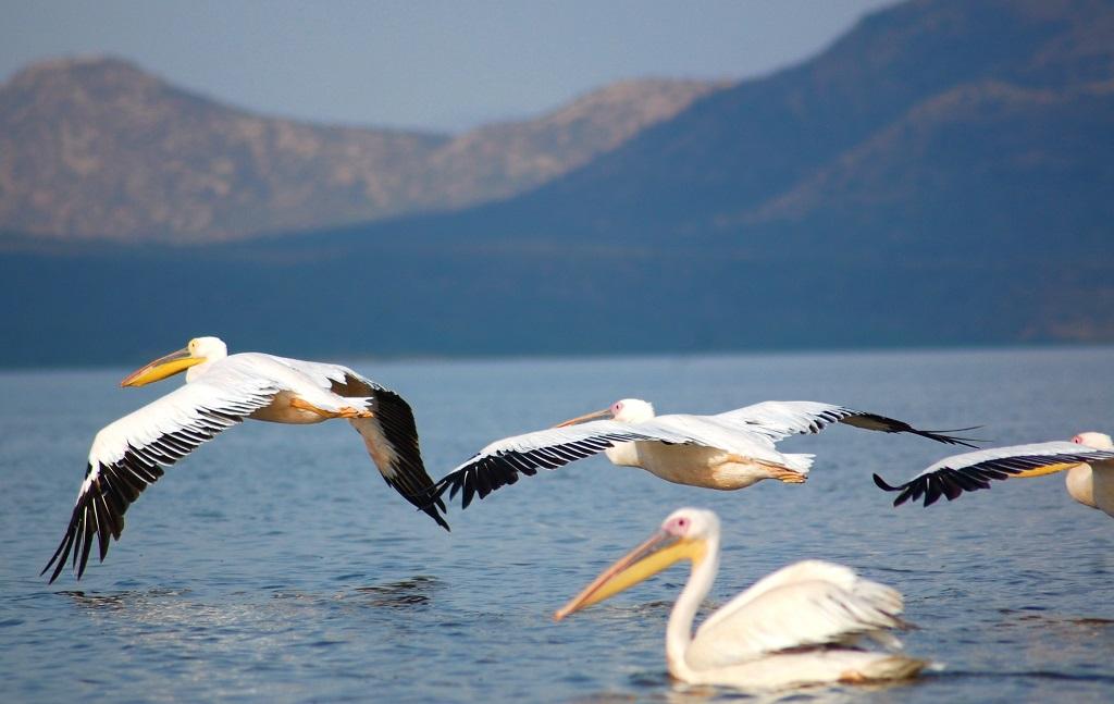 Pélicans blancs, lac Chamo - ©Yann Guiguen