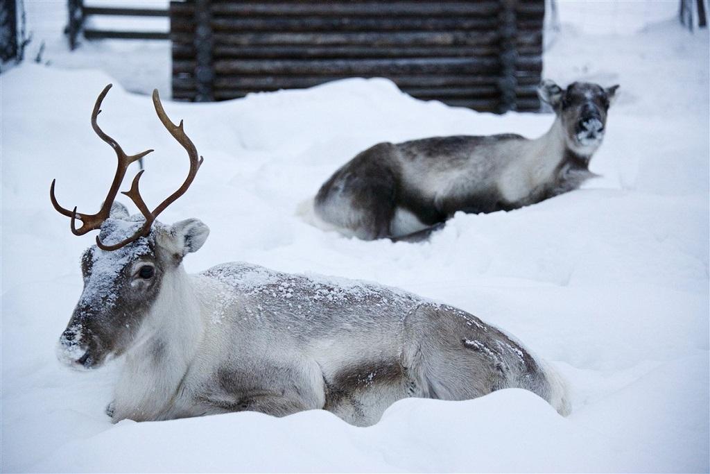 Jeunes rennes au coeur de la Laponie - Finlande