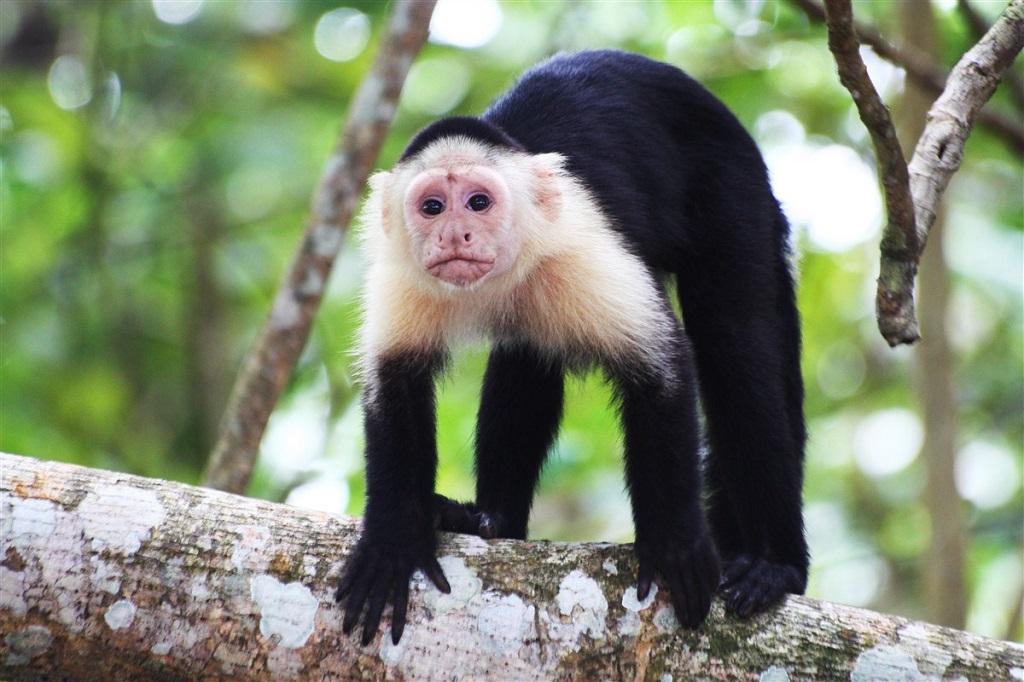 Singe dans le Parc National de Cahuita, Costa Rica