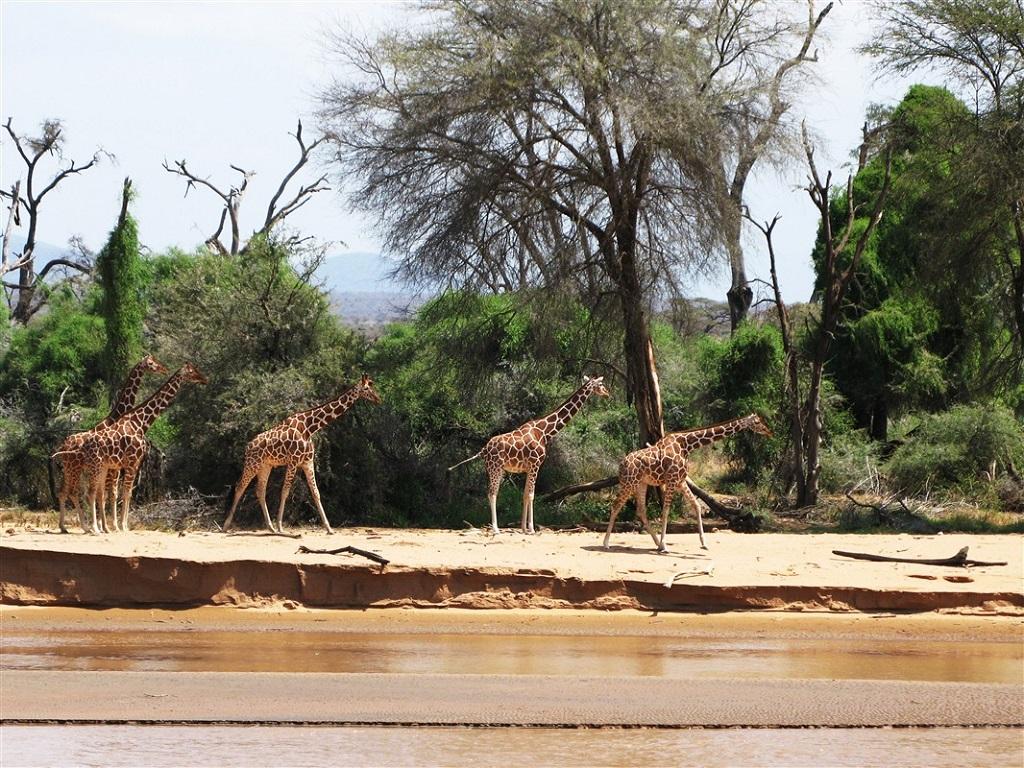 Girafes dans la réserve de Samburu, Kenya