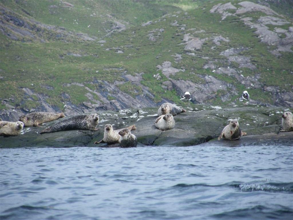 Phoques sur l'île Jura