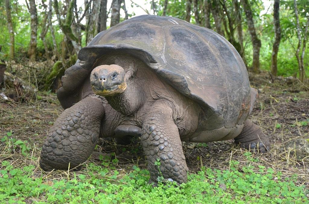 Tortues géantes sur les îles Galapagos