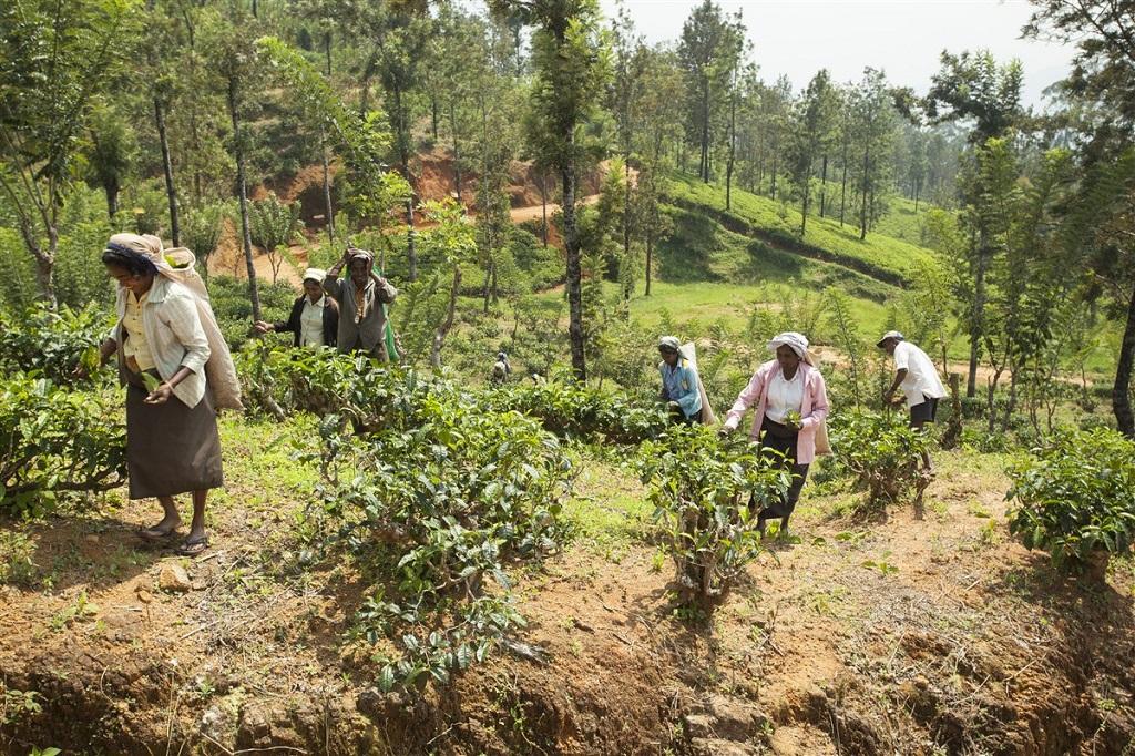 Récolte du thé entre Kandy et Nuwara Eliya - Sri Lanka