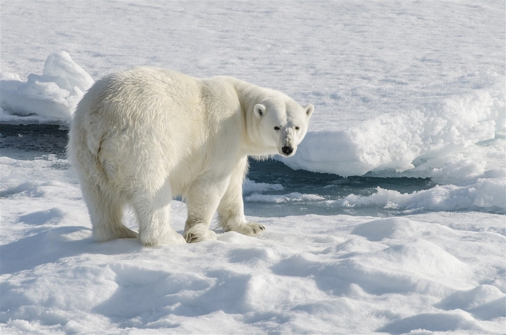 Observation des ours polaires - ©Nathalie Neyrolles