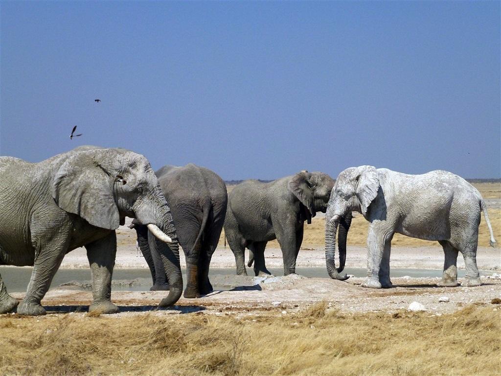 Éléphants, parc d'Etosha