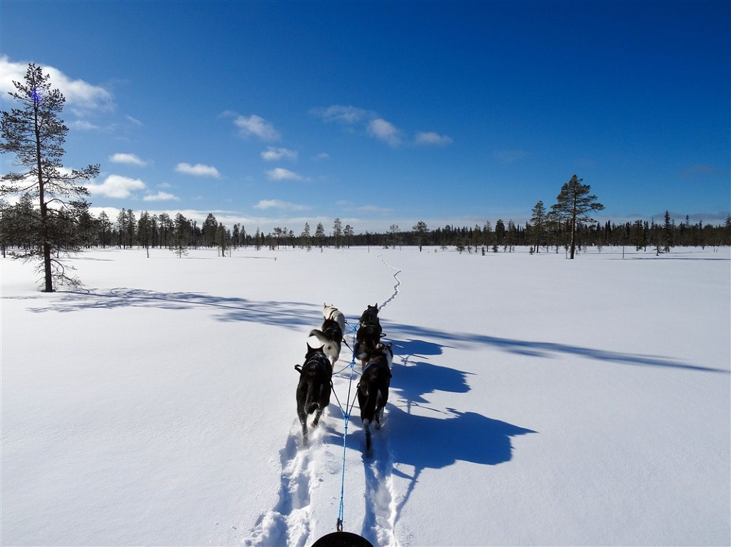 Chiens de traîneau - Finlande