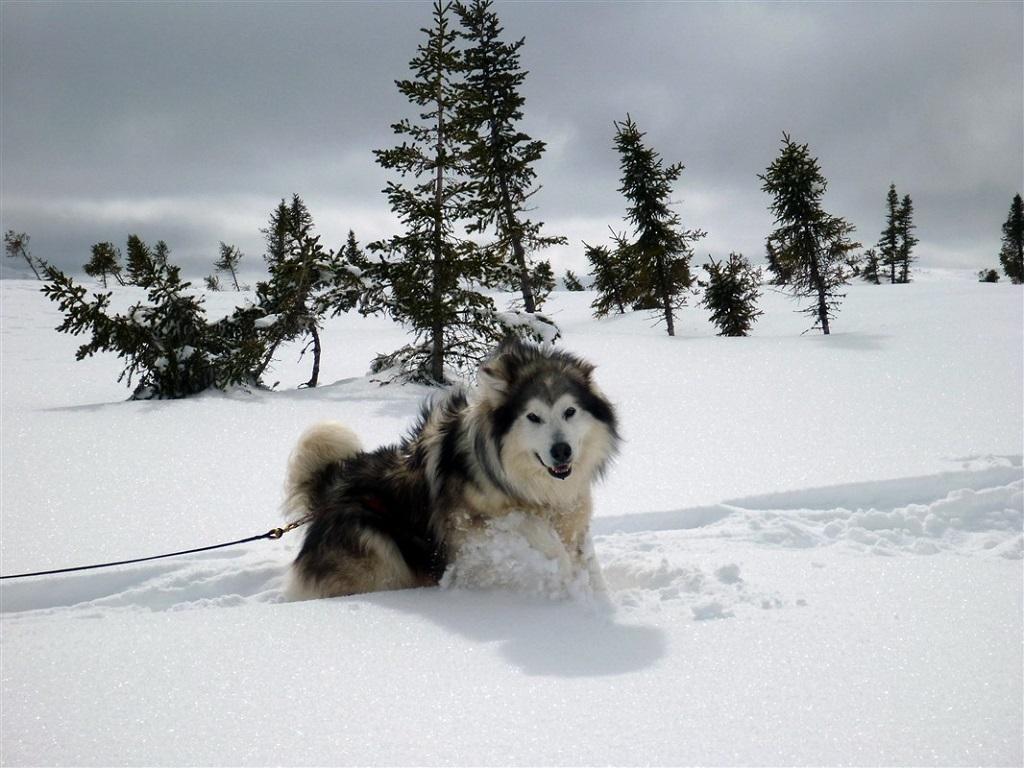 Avec les chiens de traîneau, au Canada - ©Gilles Granal