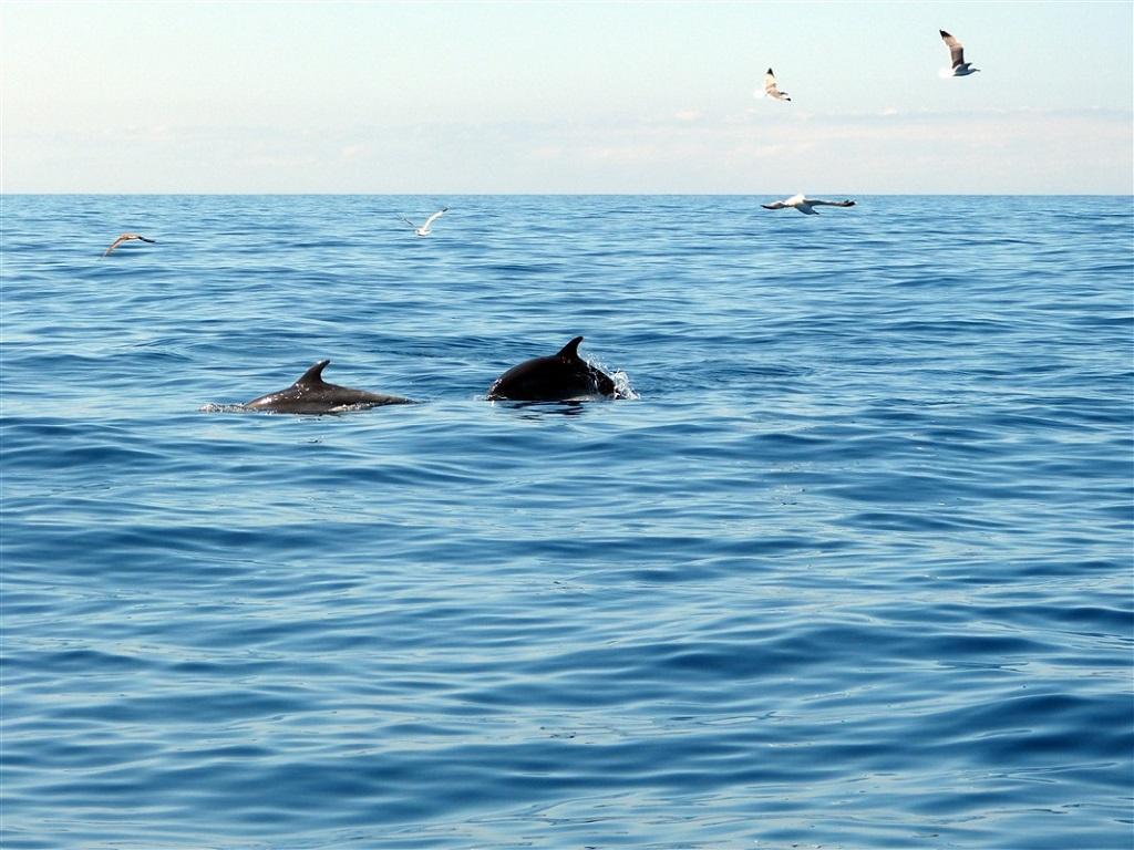 Sortie d'observation des petites baleines globicéphales et dauphins, Tenerife