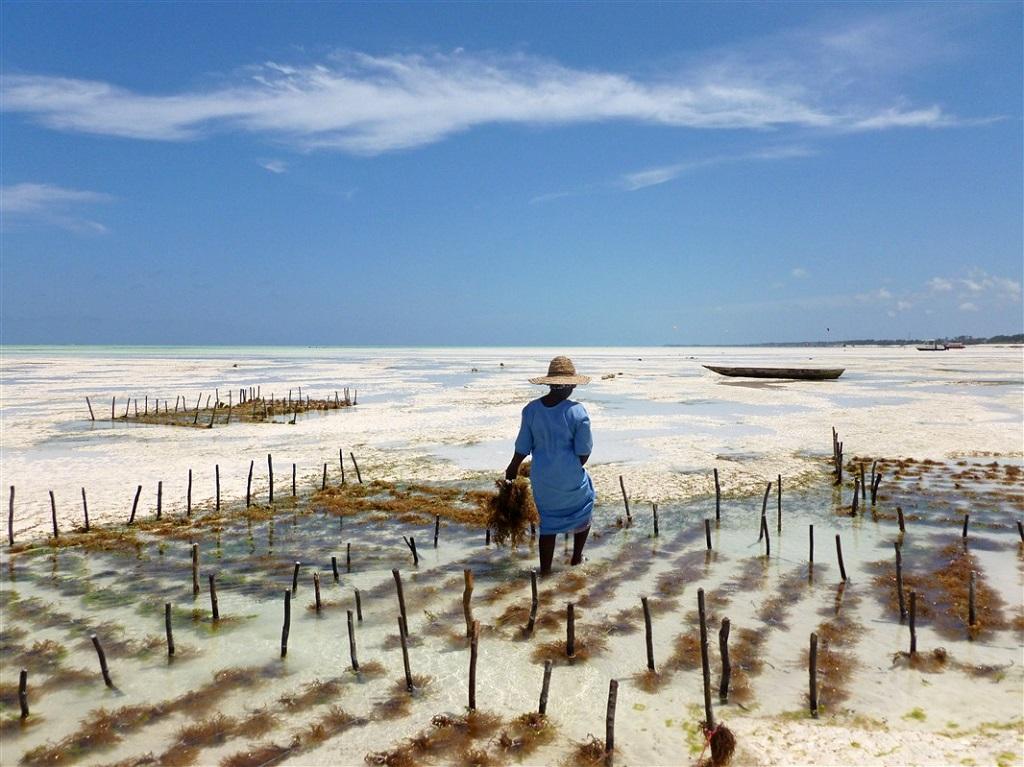 Phycoculture à Zanzibar - ©Valentin Poitte