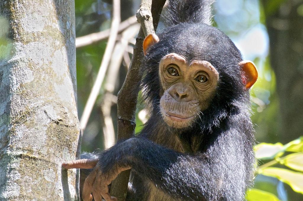 Chimpanzé, Rwanda