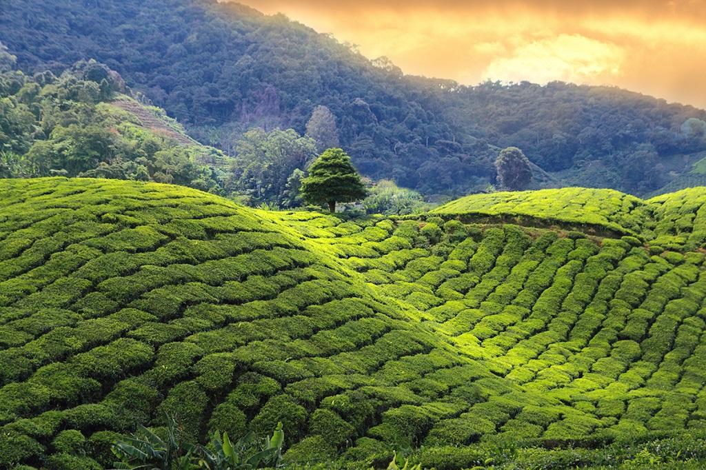 Coucher de soleil sur les plantations de thé - Sri Lanka