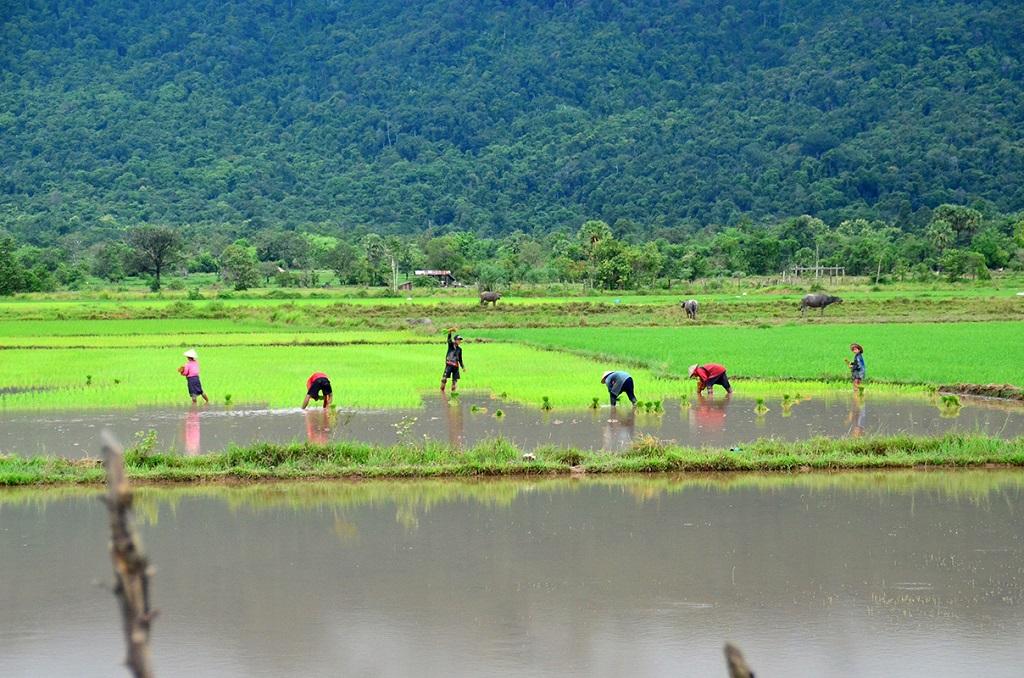 Balade dans les rizières près de Vat Phou - Laos