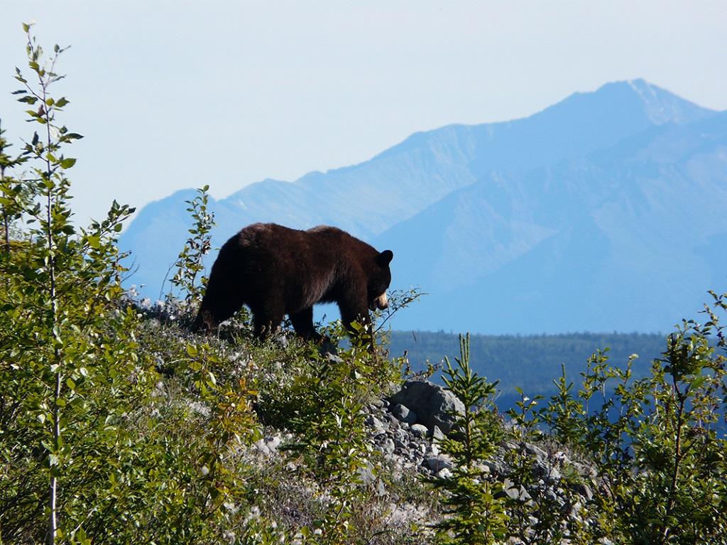Observation d'un jeune grizzli, en Alaska