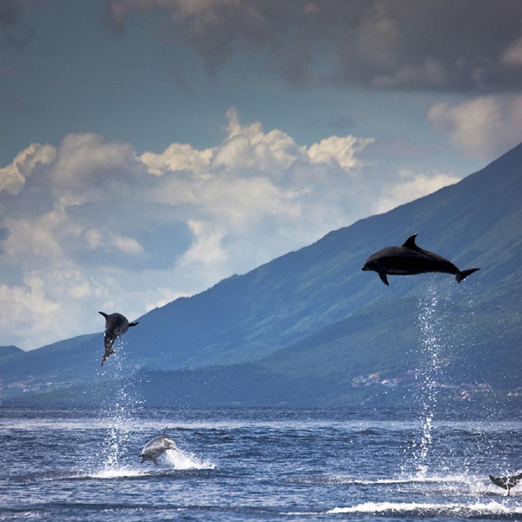 Dauphins sautant dans l'océan Atlantique - Açores, Portugal