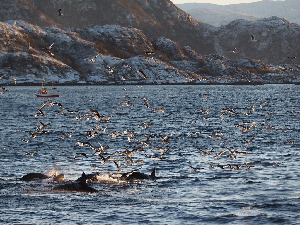 Orques au large de la ville de Tromsø