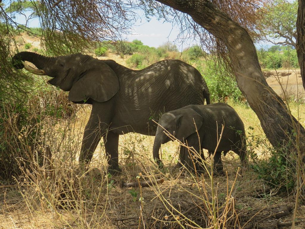 Les éléphants dans le Parc National du Tarangire - ©Sandrine Perrot