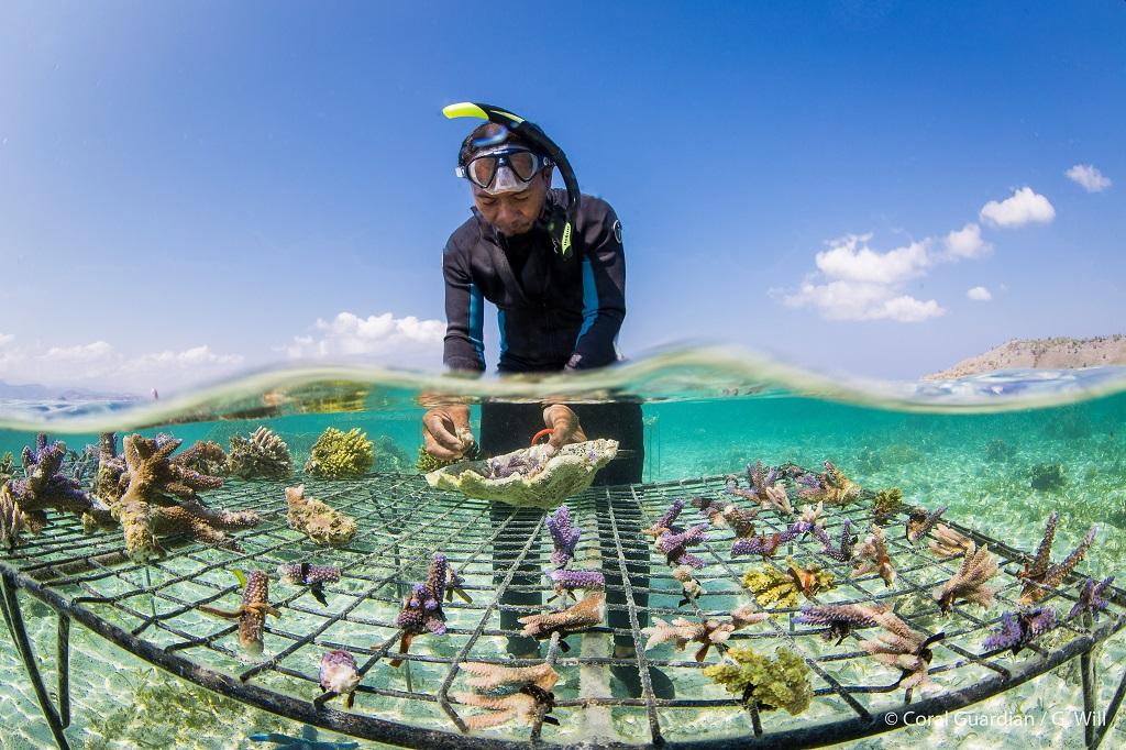 Membre de l'équipe locale transplantant des colonies coralliennes sur le platier avant d'installer la structure sur la zone de restauration.