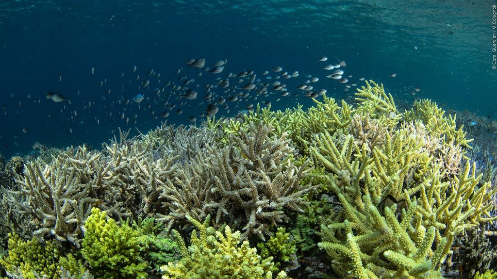 Zone de restauration corallienne âgée de 24 mois environ