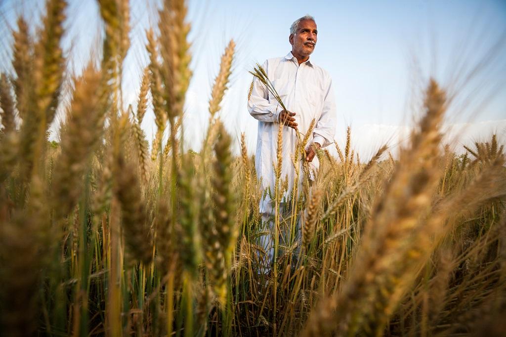 Au Punjab, Rajender Delu cultive les fruits et les céréales. Ici, l'eau est peu profonde et l'irrigation permet d'obtenir d'excellents rendements sans jamais avoir recours aux semences modifiées.
