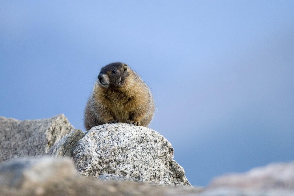 Marmotte sur le Mont Evans