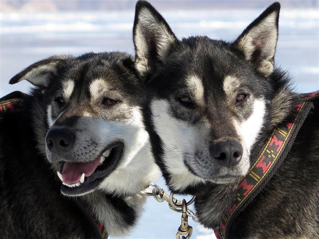 Vos compagnons sont des chiens endurants et rapides : l'idéal pour une expérience plus sportive.
