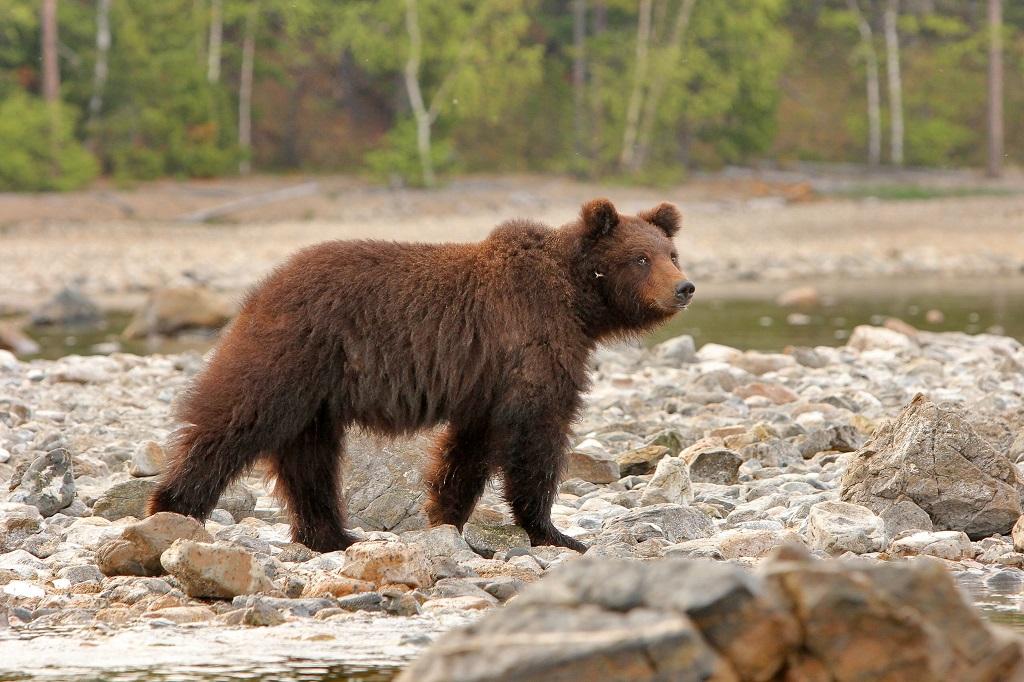 Le plus grand prédateur de la forêt. Le soir, les ours guettent les trichoptères le long du rivage. À minuit, bien rassasiés, ils retournent dans la taïga pour réapparaître à l'aube. - ©Sergey Shitikov