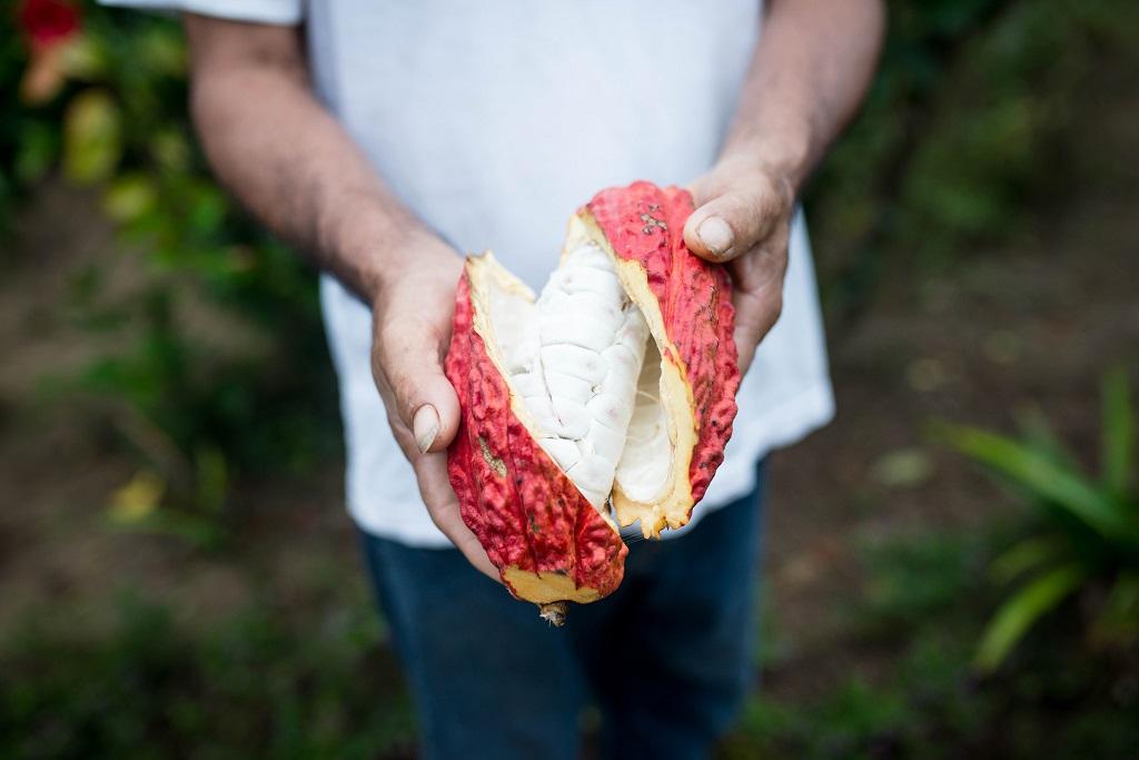 Cabosse de cacao