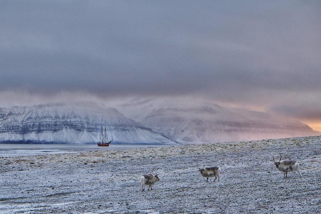 Rangifer Tarandus : on peut observer des rennes lors de chaque débarquement. De petite taille, la fourrure touffue, ces animaux sont moins grégaires que les espèces continentales.