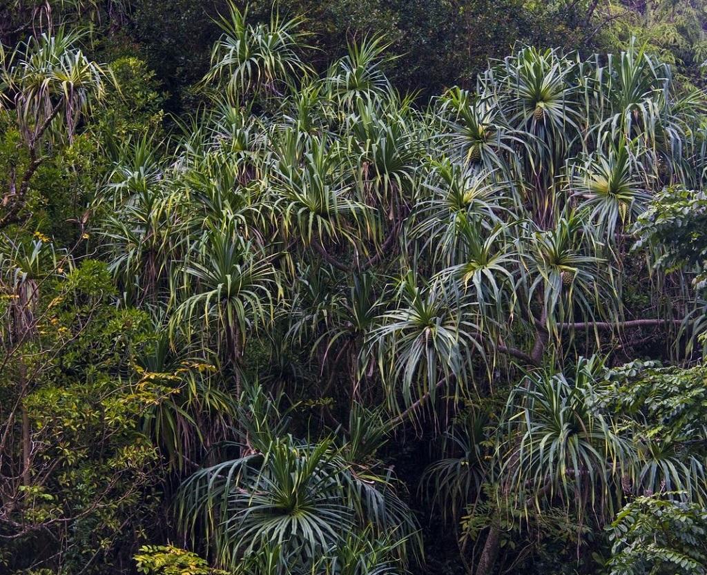 La Hana Highway : l'une des routes les plus photogéniques du monde, bordée voire recouverte par endroits d'une végétation luxuriante, se cache sur l'île de Maui. - ©Solveig Placier