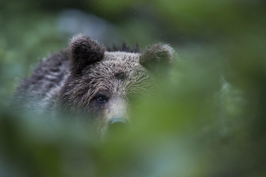 Face-à-face intense avec l'ours : sans un bruit, il me fixe, me juge, me regarde. Il me toise un long moment, à une vingtaine de mètres seulement de mon filet de camouflage.