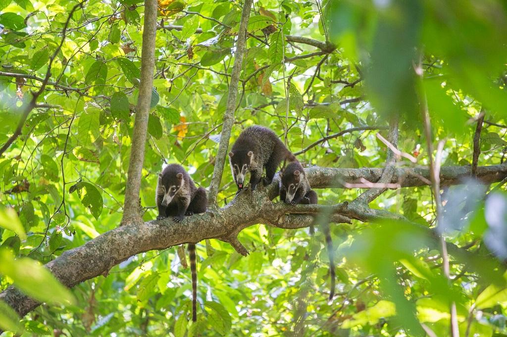 Coati à nez blanc (Nasua narica). Parc national Corcovado. - ©Christophe Migeon