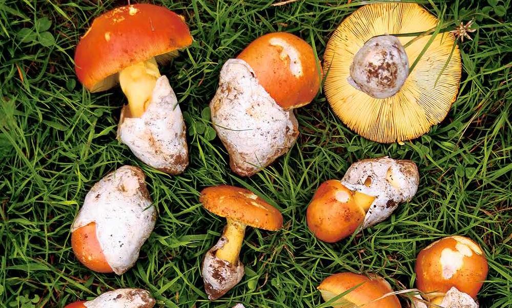 Les champignons : le troisième règne