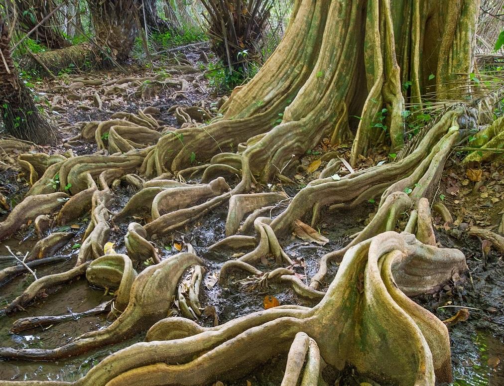 Les racines d'un arbre « sangrio » - ©Christophe Migeon